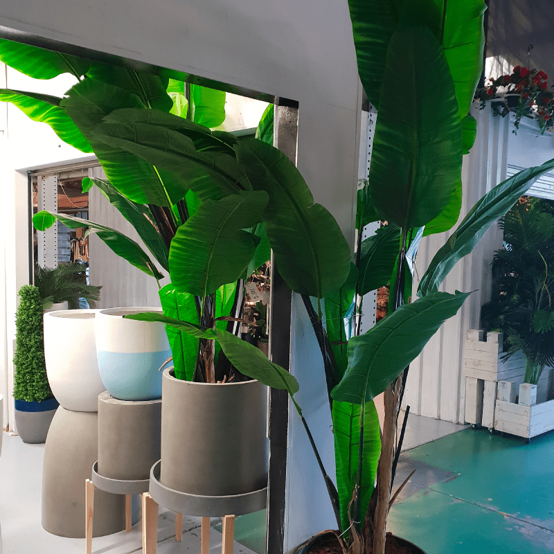 2.5M Traveller Palm Tree